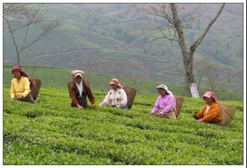 红茶品种:大吉岭红茶|红茶种类及特点