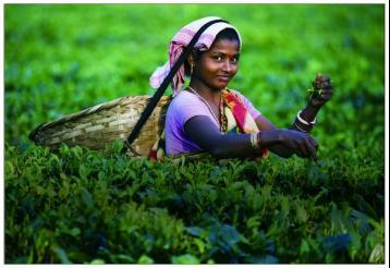 红茶品种:锡兰红茶|红茶种类及特点
