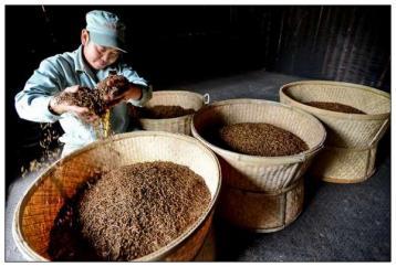 祁门红茶的制作过程|祁门红茶工艺