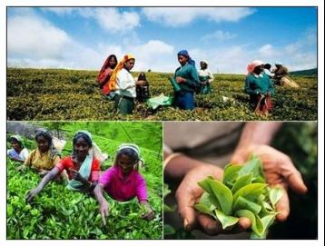 锡兰红茶的制作工艺|红茶加工