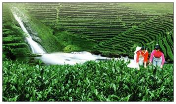 红茶初加工工艺技术流程介绍|红茶制作
