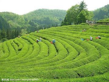 浙江红茶发展简史|红茶文化