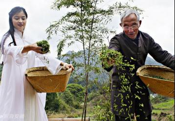 祁门红茶茶园采茶图片|红茶摄影