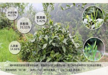 制作祁门红茶的珍贵茶树品种--槠叶种