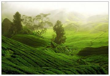 白茶的诞生|白茶的起源