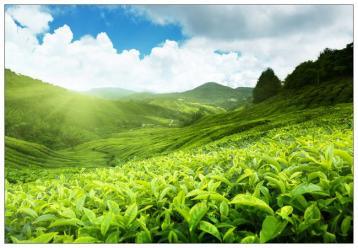 白茶有哪些特点?|白茶知识