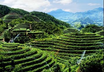 白茶的产地|白茶的种类