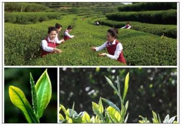 福鼎白茶鲜叶的采摘与管理|白茶制作工艺