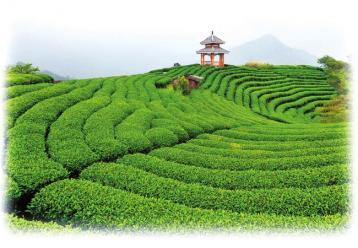 白茶的种类和等级划分|白茶有哪些