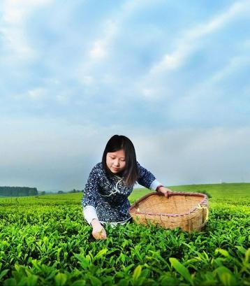 如何鉴别白茶的香气和滋味?|福鼎白茶品鉴