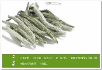 白毫银针图片|福鼎白茶图片资料