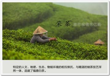 白毫银针制作工艺图片|白茶制作图片