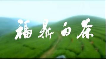 福鼎白茶第9期《白茶福鼎》|白茶宣传视频