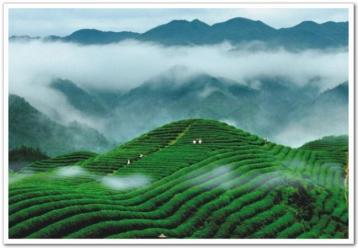 教你鉴别中国十大名茶|名茶特征