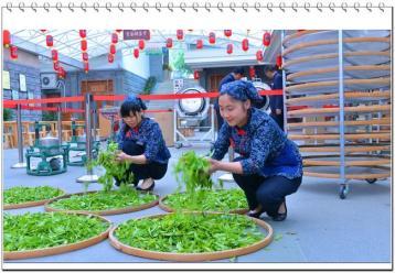 绿茶制作工艺|绿茶加工工艺
