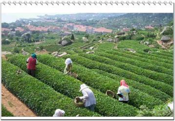 农药茶风波之后你还敢去台湾买茶吗?|茶叶新闻