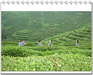 广东人一年喝掉10万吨茶 茶产业火爆引各方共掘金
