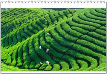无公害茶叶栽培管理技术|无公害茶园管理