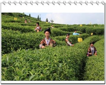 茶叶栽培技术|茶树培育技术