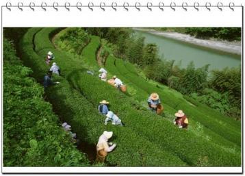 茶叶种植技术|茶树栽培