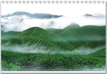 冬季茶叶管理把好三道关|茶园管理
