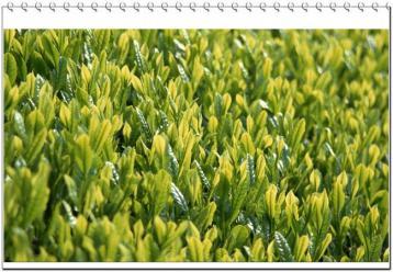 如何为茶叶测土配方施肥|茶叶施肥技术