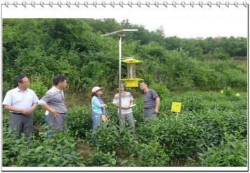 茶叶病虫害防治技术|茶叶栽培
