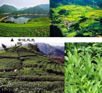 安化黑茶拓展海外市场|黑茶新闻