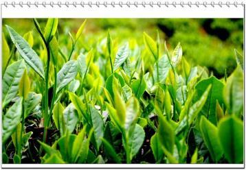 乌龙茶属于什么茶|乌龙茶百科