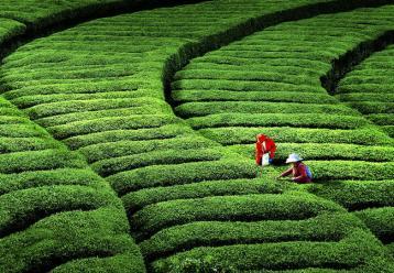 乌龙茶的主要产地在哪里 乌龙茶产地