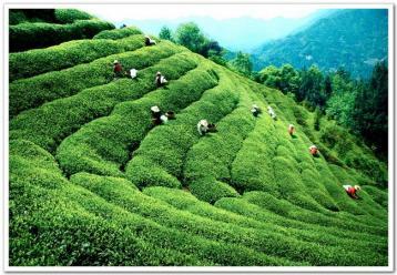 福建绿茶分类介绍|绿茶种类