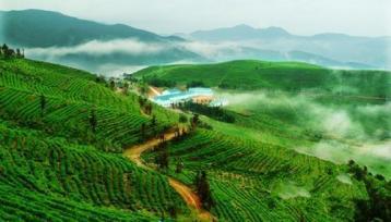 宁波茶叶出口均价低廉 宁波绿茶行情