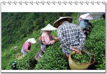 2015年陕西茶叶春茶产量|绿茶市场行情