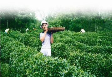 """明日""""开抢"""",日照大庄园绿茶半价直销 日照绿茶"""