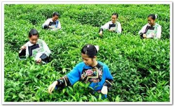 黄金茶168号绿茶茶树新品种通过省级现场评议