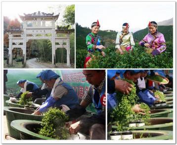 什么是炒青绿茶?|绿茶分类