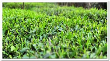 唐代蒸青饼茶的制造|中国绿茶的历史(五)