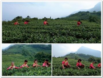 福建绿茶有哪些品种|绿茶种类