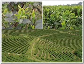 中国著名绿茶有哪些品种|绿茶种类