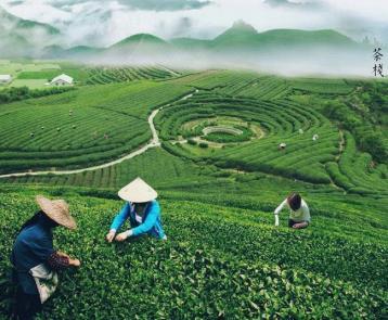 安徽绿茶品种|中国绿茶种类
