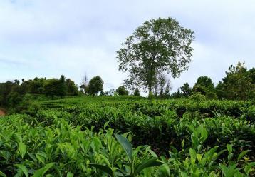 云南白毫茶园图|绿茶茶园图