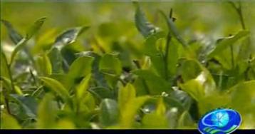 农业科普:绿茶加工工艺|绿茶视频
