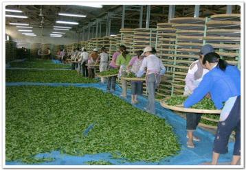 怎样制作绿茶|绿茶加工方法