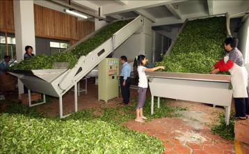 天山绿茶的机械制作工艺|绿茶加工