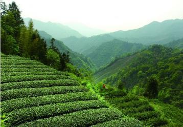 安化黑茶的生长环境和价值|黑茶文化