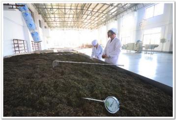 黑茶渥堆的作用|黑茶制作工艺
