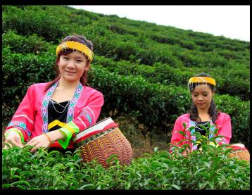 选购安化黑茶的注意事项|黑茶收藏