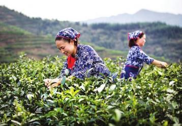 武夷岩茶采摘工艺|武夷岩茶制作工艺技术