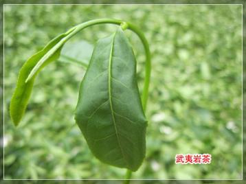 武夷岩茶萎凋工艺|武夷岩茶制作工艺技术