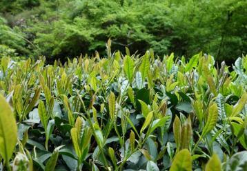武夷岩茶的种类有多少|岩茶品种